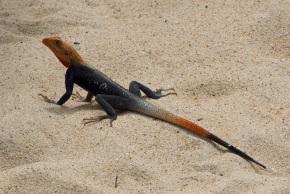 Wildlife in Ghana - Lizard
