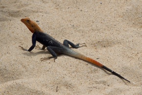 Wildlife in Ghana - Lizard